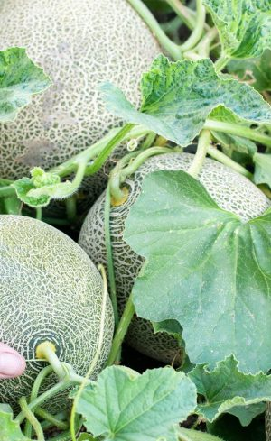 La culture des melons au Québec