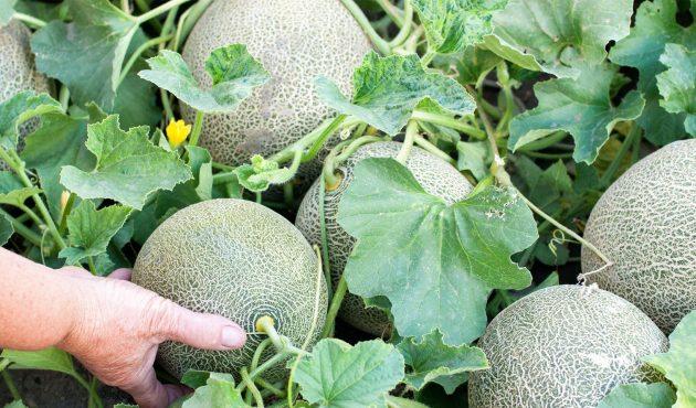 La culture des melons