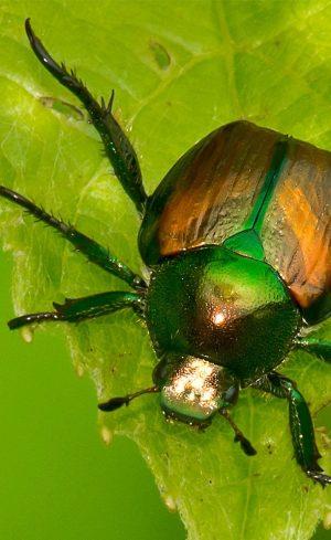Comment se débarrasser des scarabées japonais au jardin