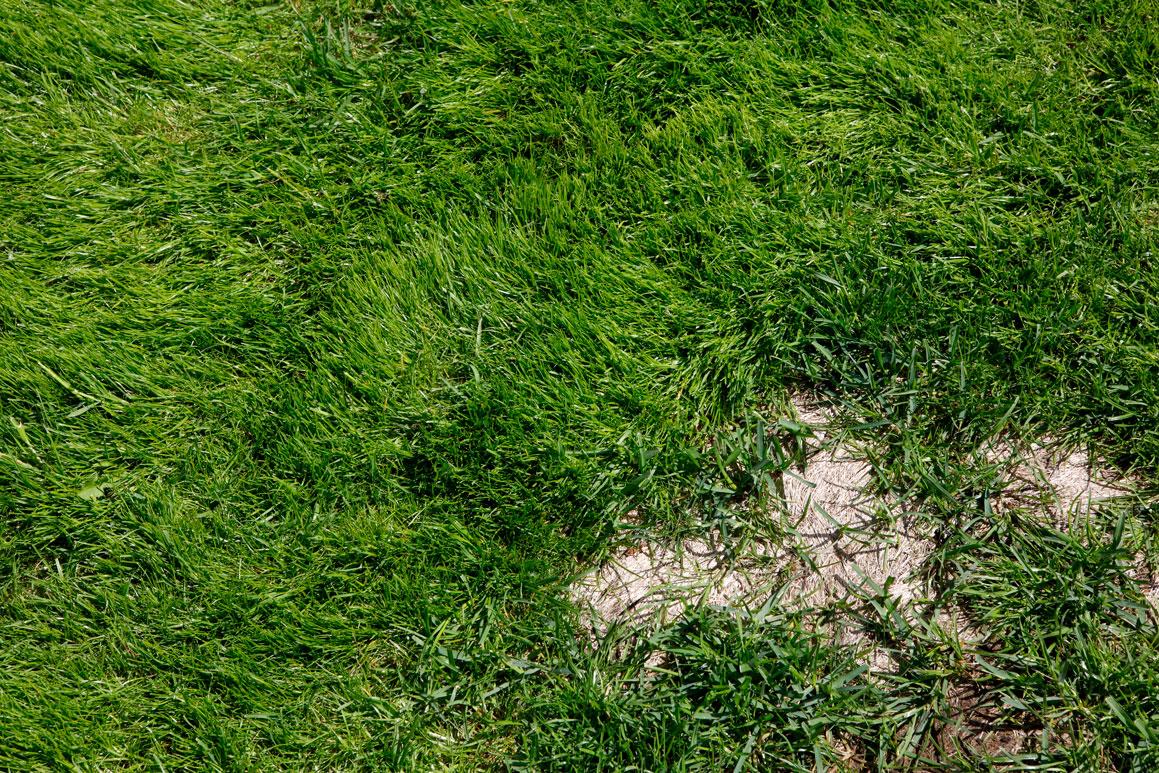 Dommage de gel sur la pelouse