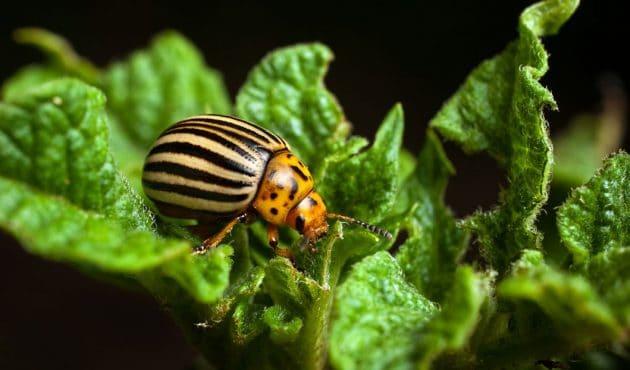 Bibitte à patate, perce-oreille et coccinelle asiatique : comment les contrôler au jardin?
