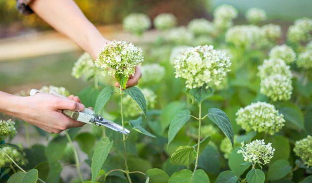 Comment tailler les arbustes fatigués pour les raviver