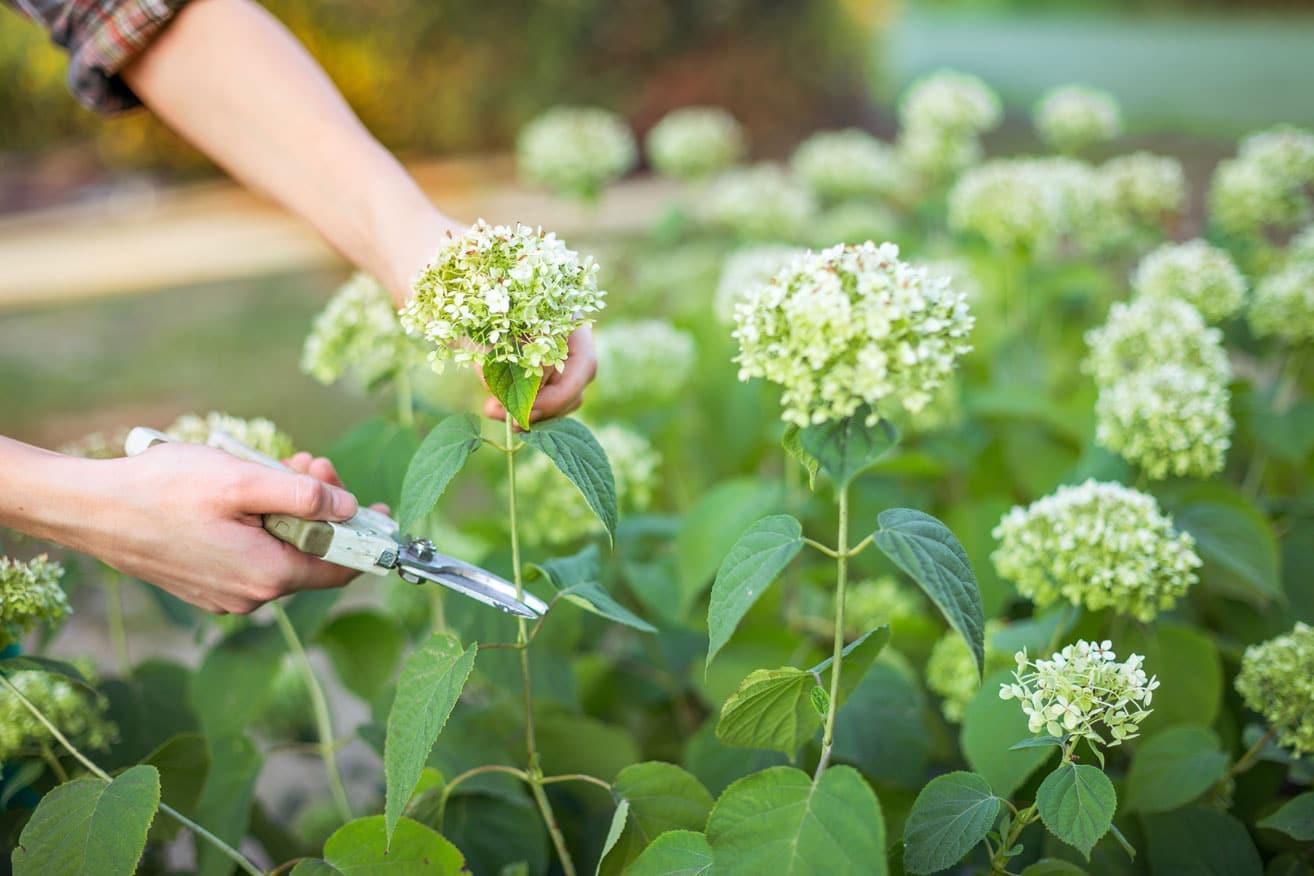 Comment tailler les arbustes