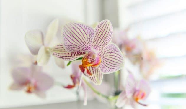 Comment entretenir une orchidée pour qu'elle refleurisse