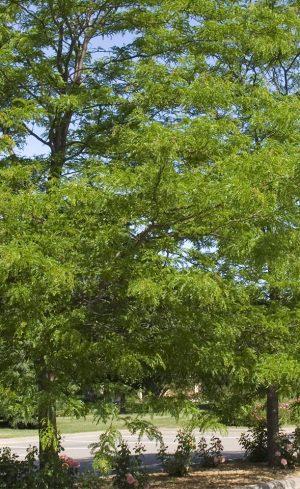 Cinq arbres à croissance rapide