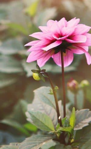 Différence entre une plante annuelle et une plante vivace