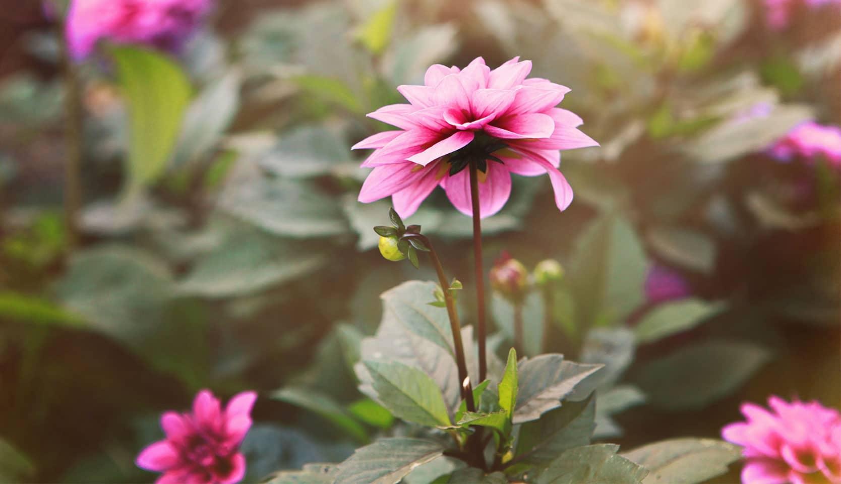 Plante vivace et annuelle
