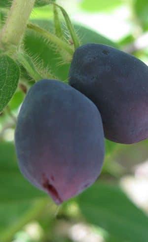 Arbustes fruitiers faciles à faire pousser