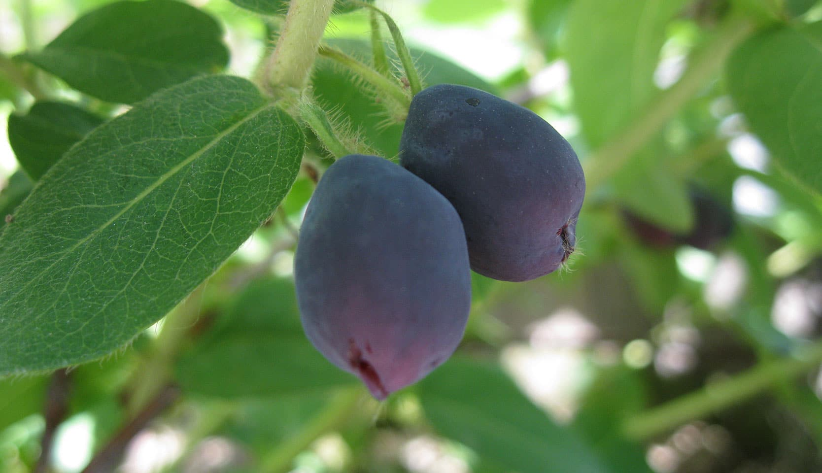 arbustes fruitiers