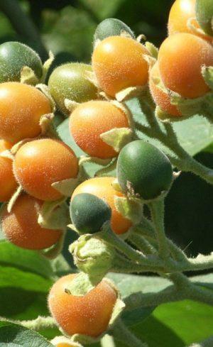 Plantes venues d'ailleurs à cultiver au potager