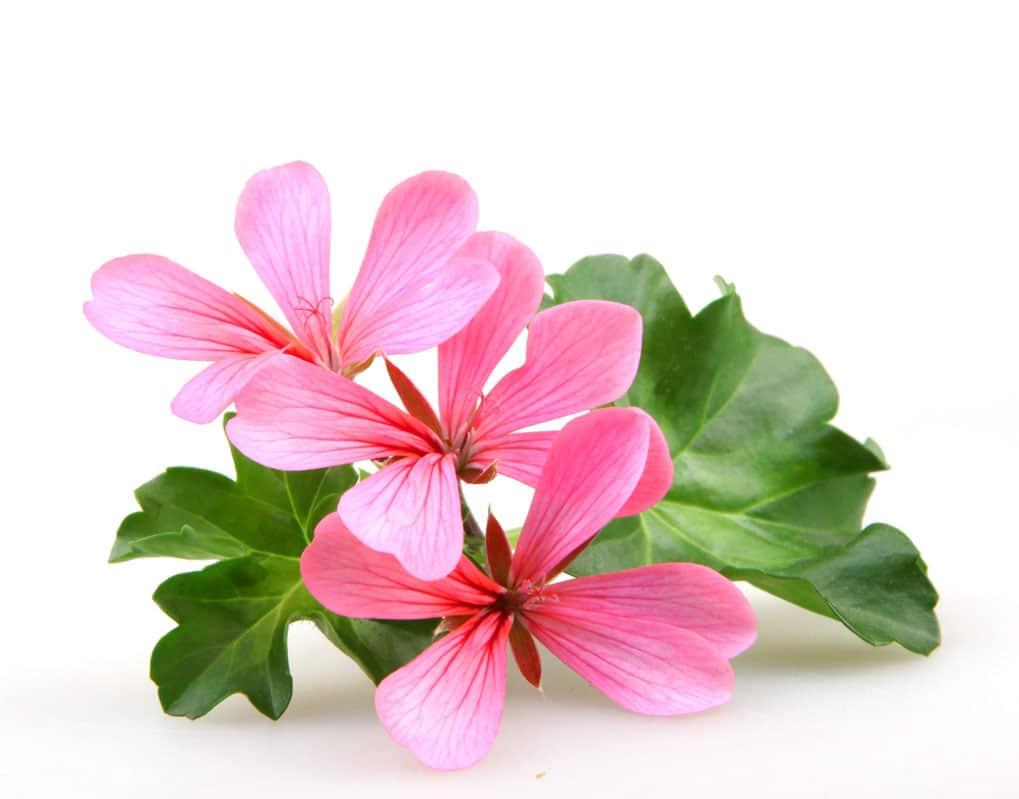 geranium a senteur de rose