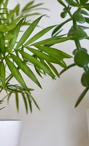 Cinq petits arbres en pot pour verdir votre intérieur