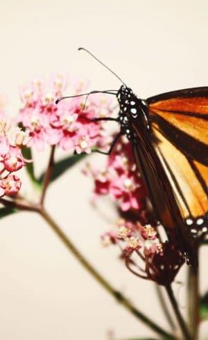 L'asclépiade, une plante essentielle à la survie des Monarques