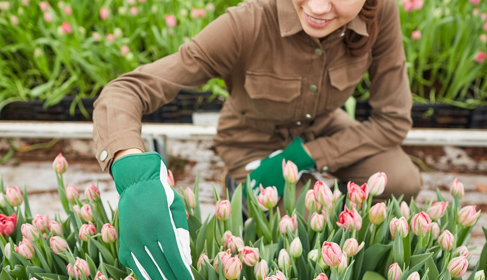 Quand et comment planter des bulbes de tulipes