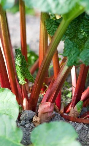 Tout sur la rhubarbe : comment la choisir, la cultiver et la déguster