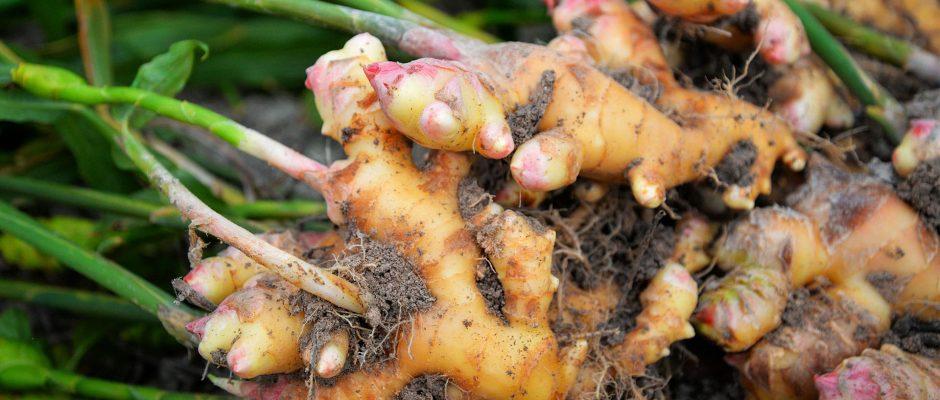 Comment cultiver du gingembre au Québec