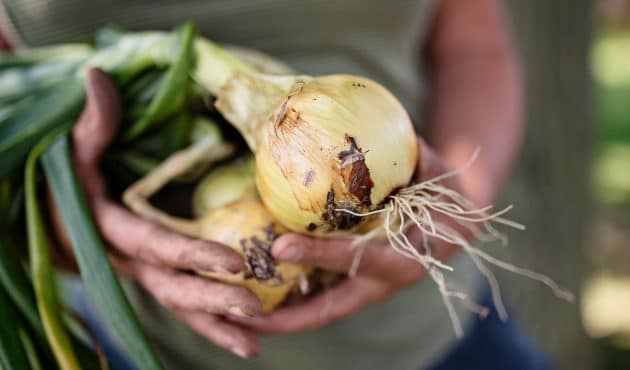 Comment cultiver des oignons