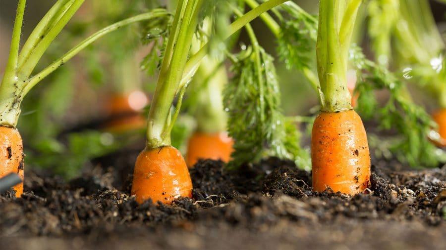 legumes à ressemer