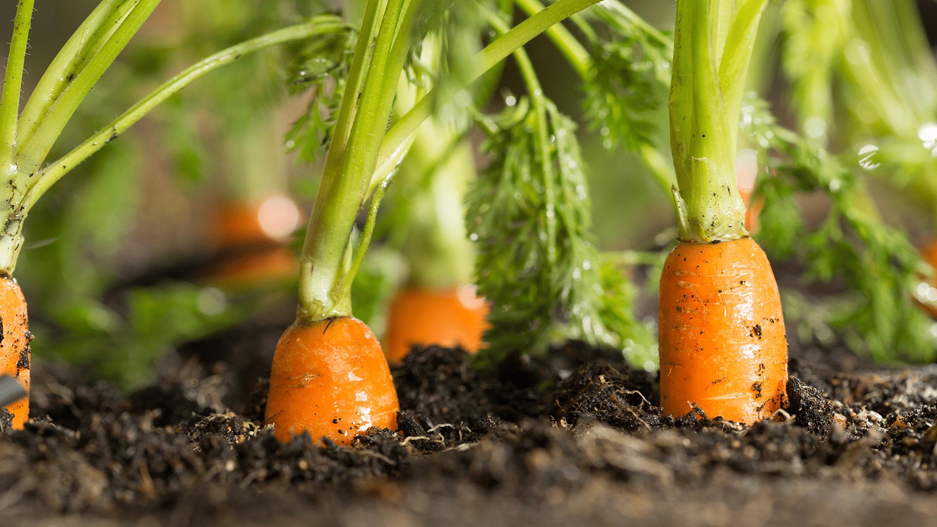 Comment réussir la culture des carottes