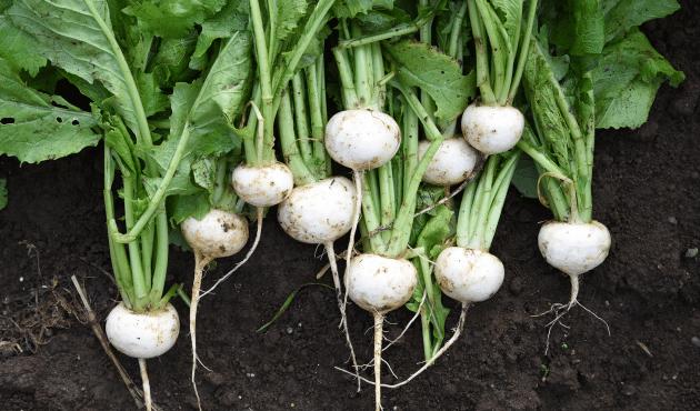 Cultiver le navet : plantation, entretien et récolte