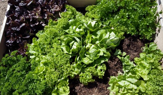 Trucs pour récolter de la salade du jardin tout l'été