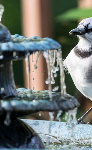 Un bain d'oiseaux dans ma cour