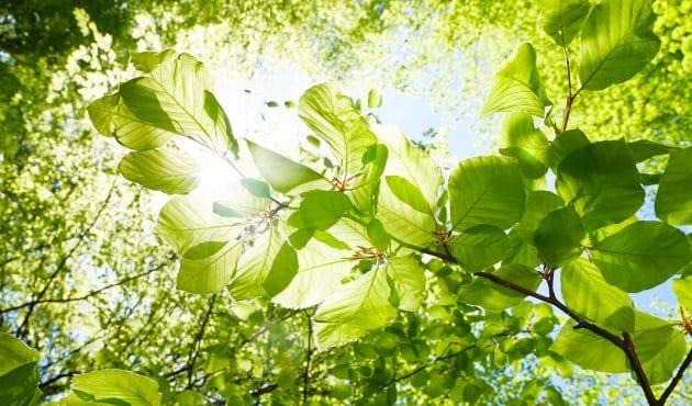Érable, tilleul, bouleau… tout savoir sur les vertus de leurs feuilles
